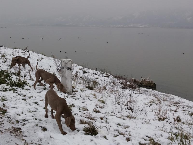 Are weimaraners good in cold weather