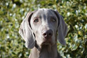 Why do hunting dogs tend to have floppy ears