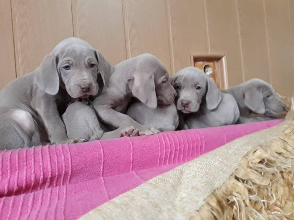 Chasseur D'argent kennel puppies