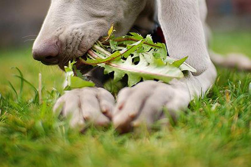 Why are dogs eating grass