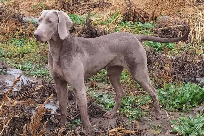 Are Weimaraners hunting dogs?