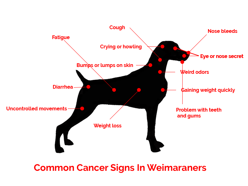 How to Identify Cancer Symptoms in Weimaraners