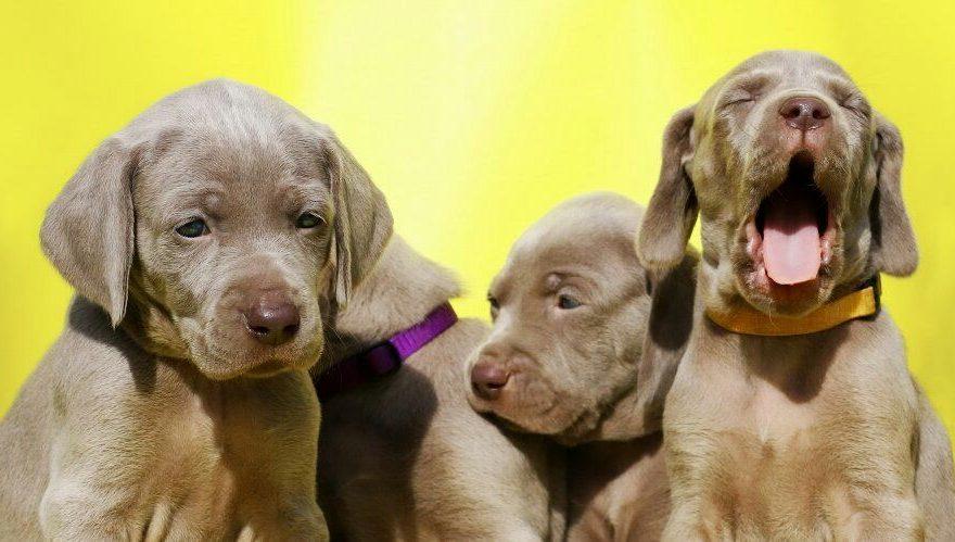 how to buy Weimaraner puppies