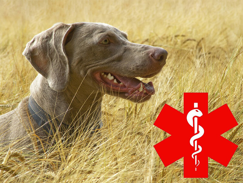 Hunting dogs injuries