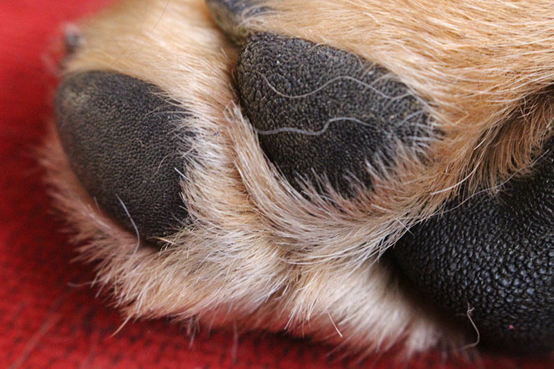 Paw infections in dogs