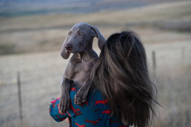 Does Weimaraner Like to Cuddle