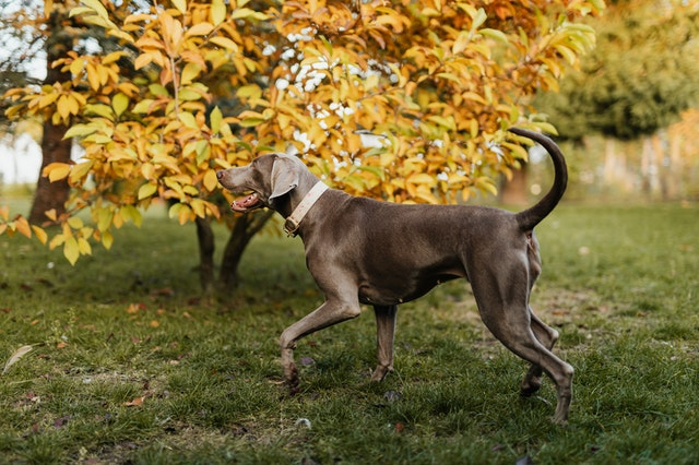 Why are Weimaraners so expensive